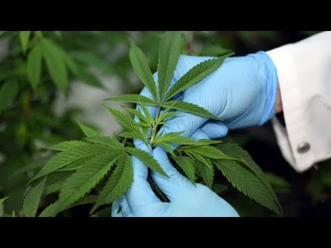 Federal government funds marijuana research