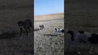 Собаки п,к РАМЗЕС....хорошо работают по назначению....Жаркент.