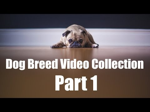 Dog Breed Video Collection Part 1: Breed Compilation A-L