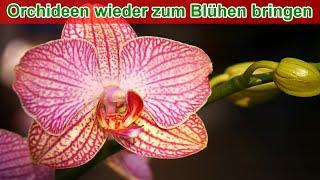 Orchideen wieder zum Blühen bringen durch kalt stellen –  Anleitung Methode 2