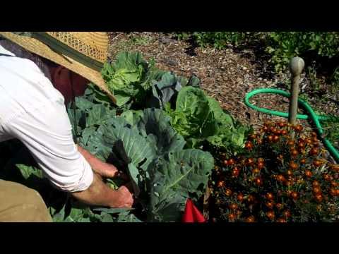 Maui Bees Farm, you pick, organic bio dynamic vegetable Garden, selecting cabbage