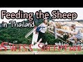 Swiss Sheep Farm Cha-Am Thailand | Vlog Travel Myfunfoodiary