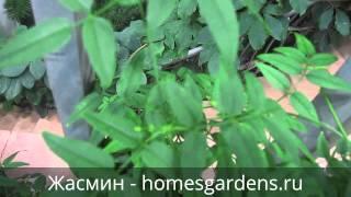 Как выглядит домашний жасмин(Как ухаживать за домашним жасмином, можно прочитать на моем сайте http://homesgardens.ru/sad-i-ogorod/zhasmin В этом видео..., 2014-10-01T23:31:59.000Z)