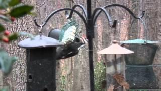 Male Pileated Woodpecker on Suet Feeder