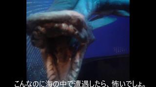 TOKIOの城島茂と山口達也が、超貴重な生物で幻の古代サメ・ラブカを捕獲...