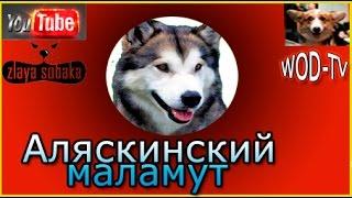 Аляскинский маламут - Поет песню!