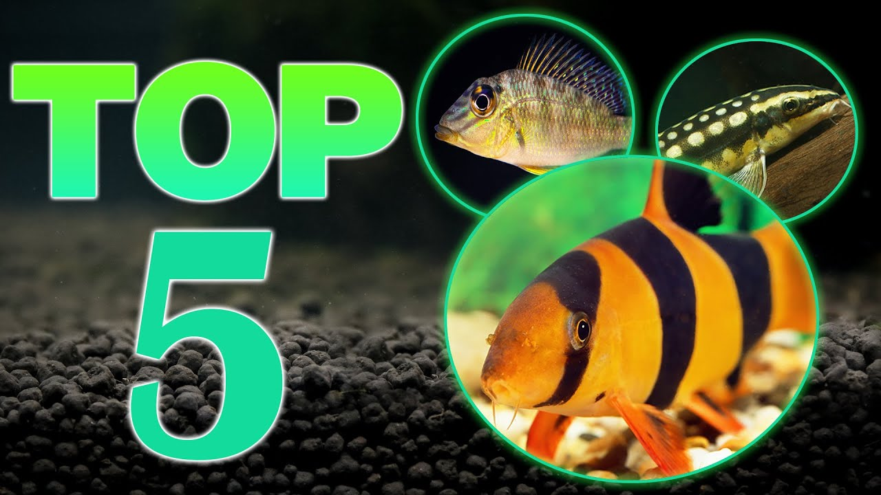 Top 5 Bottom Dweller Freshwater Fish Youtube