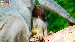 Video Red baby angry mom&cry much cos hungry to milk mom|Rosa mom try to weaned her baby|Monkey Daily 652 download MP3, 3GP, MP4, WEBM, AVI, FLV April 2018