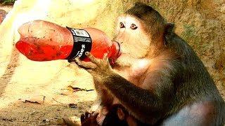 WOOW..! Carla monkey drinking Samurai, Great for Carla & Charlee baby  monkey