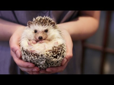 OWNING A PET HEDGEHOG FACTS - UPDATED
