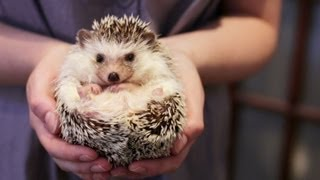 One of TheSorryGirls's most viewed videos: OWNING A PET HEDGEHOG FACTS - UPDATED