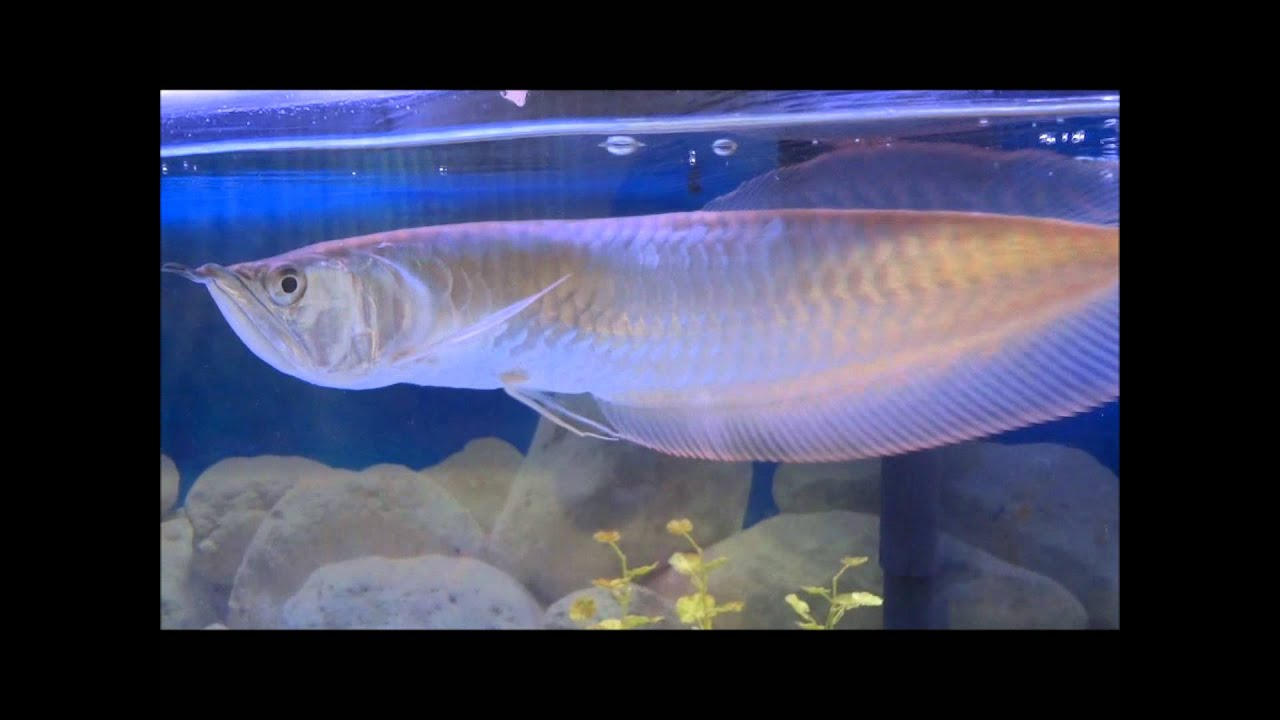 Silver Arowana One Year Update - YouTube