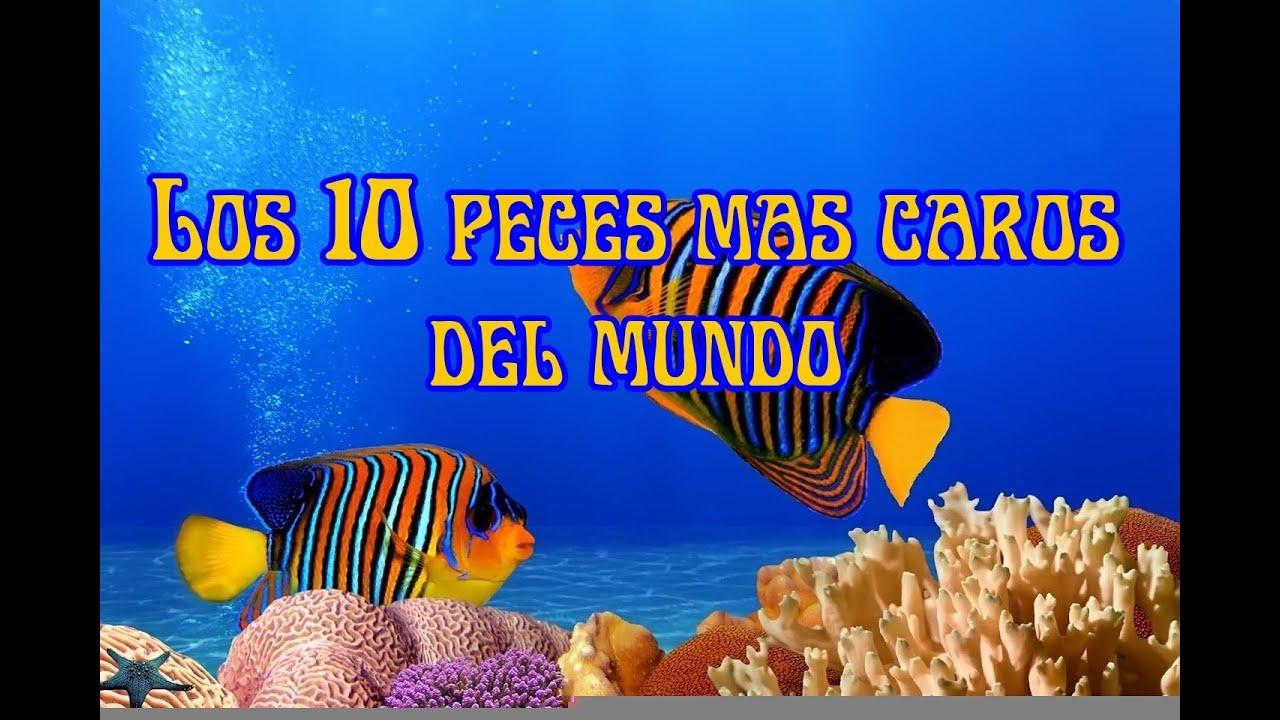 Los 10 peces mas caros del mundo youtube - Los peces mas bonitos del mundo ...