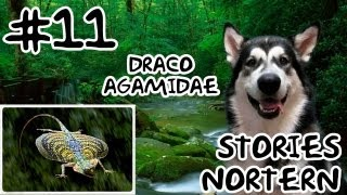 11 Летающий Дракон - DRACO LIZARD Stories Northern