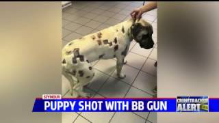 Woman's English mastiff puppy shot dozens of times with BBs and pellets