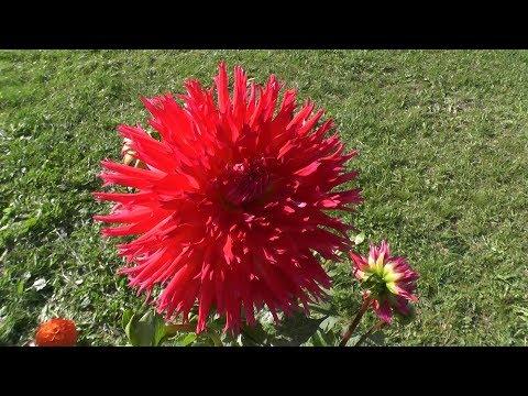 Выращивание и уход за многолетними георгинами: от посадки до уборки на хранение