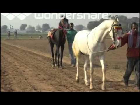 Horses In The Fall Wallpaper Marwari Horse Punjab Nukra Horse Race Punjab Youtube
