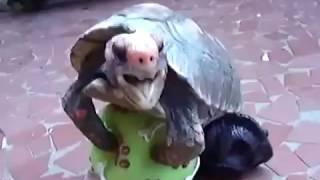 черепаха занимаеться сексом с мячем