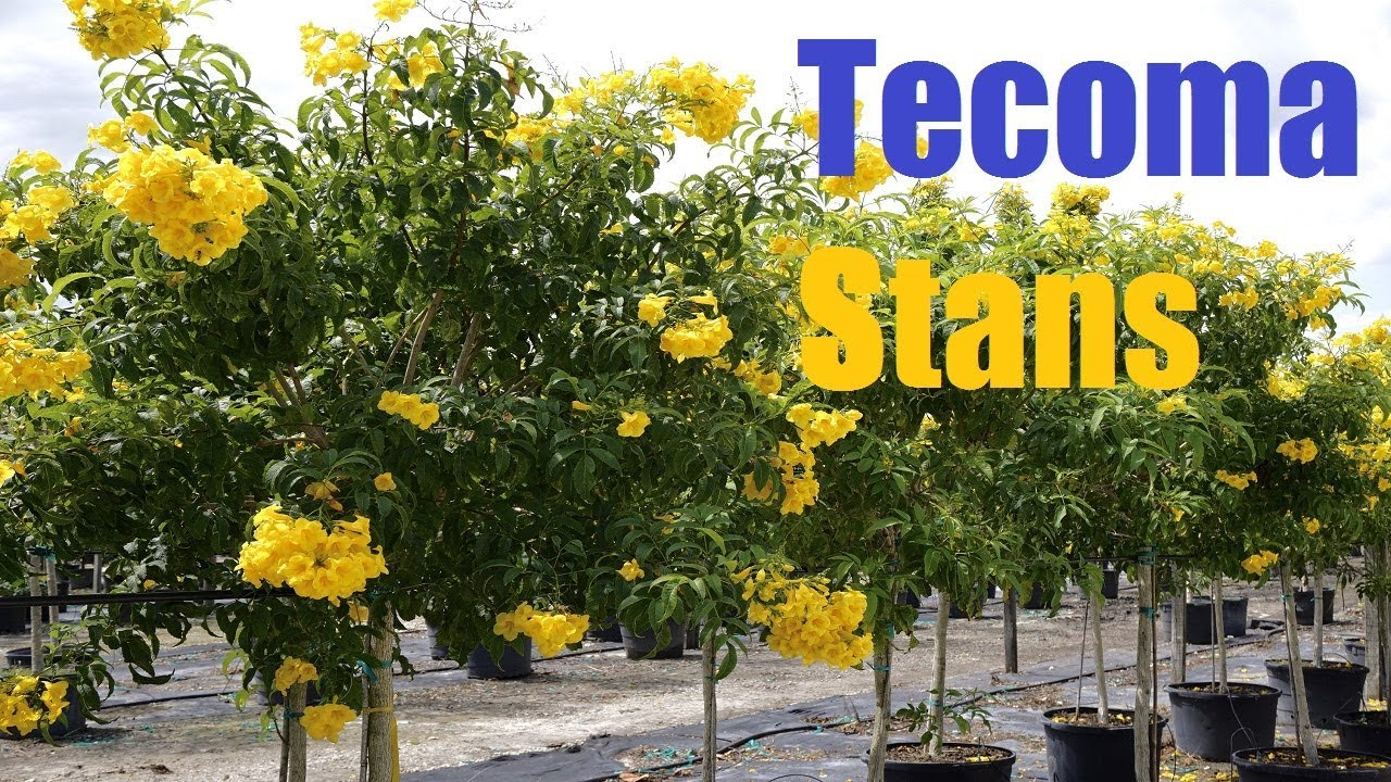 Plants Profile For Tecoma Stans Yellow Bells