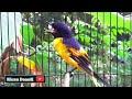 Keren Banget Suara Pikat Burung Mantenan Himalaya  Mp3 - Mp4 Download