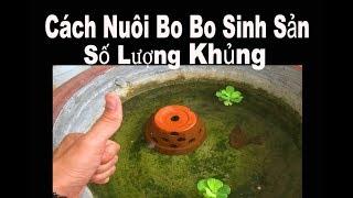 Vlog 60: Cách Nuôi Bo Bo Sinh Sản Số Lượng KHỦNG ( Thức Ăn cho cá con Betta Bột )