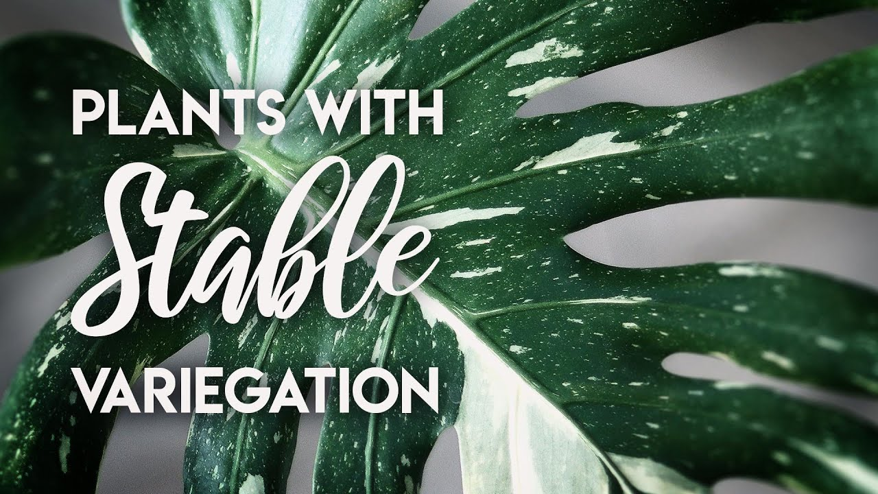 10 Plants with stable variegation! (NO Reversion OR Cutting)
