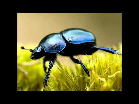 Dung beetle: The cafetaria experiment