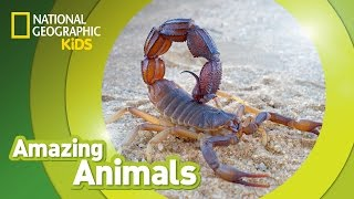 Scorpion | Amazing Animals