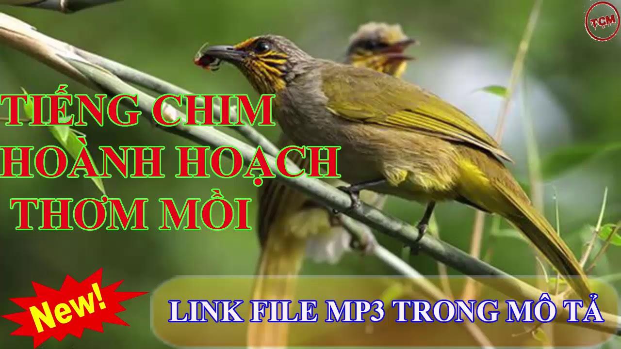 Tiếng chim quạch thơm ( hoành hoạch ) mồi  320kbps không có tạp âm, 47 phút #1