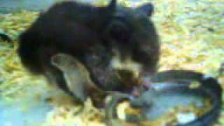 tupai terbang ekor mirip bulu ayam