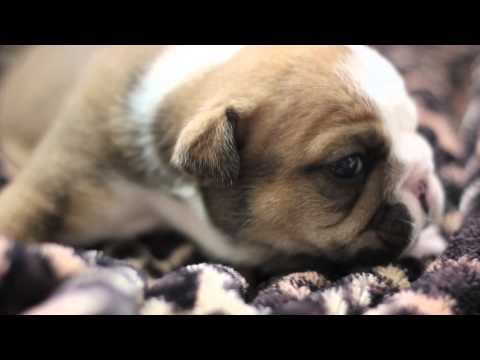 OB Oliver Bulldogs Litter Of British Bulldog Puppies
