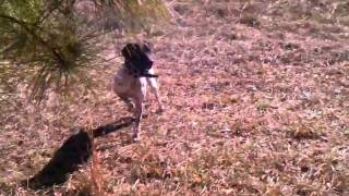 German Shorthair Pointer: Palm Glades Lovely Lady