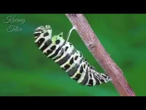 Amazing! Perjuangan ulat bulu menjadi kupu-kupu yang cantik #8