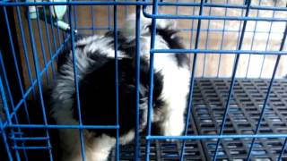 Shih Tzu Puppies 2months Old Black & White Jlt2008