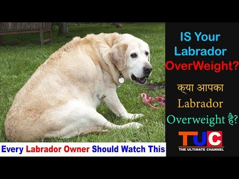 IS Your Labrador Retriever OverWeight : Dog Tips : The Ultimate Channel