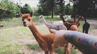 Introducing Our ALPACA Herd   VLOG   Roots and Refuge Farm