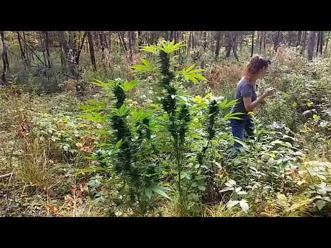 outdoor cannabis gorilla grow update 9/17/17
