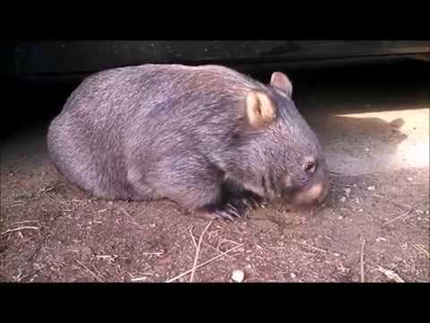 George the Wombat eating dirt.