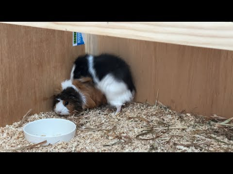 Guinea Pig Mating #1 | Mo, Larry And Pam