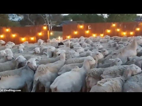 A.D. - Sheep Invade a Family's Backyard, and Refuse to Leave