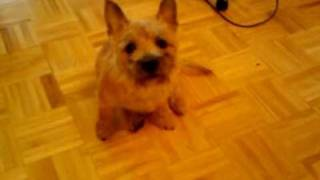 Toro The Cairn Terrier Chases His Tail