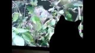 猫たちの好きな番組は、ほとんどがNHKです。 とくに好きなのは「ミニ...