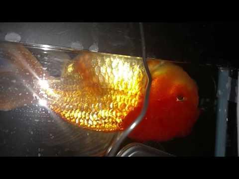 Upside Down Goldfish