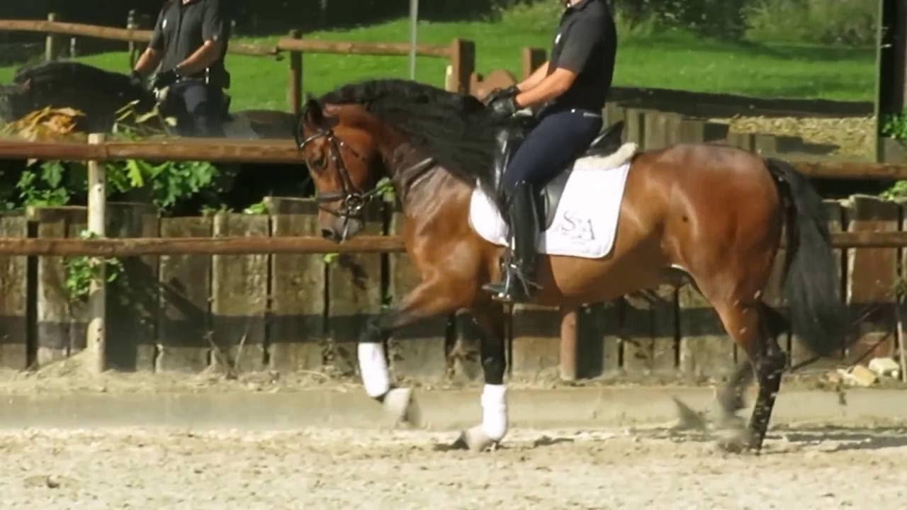 cheval espagnol hongre a vendre