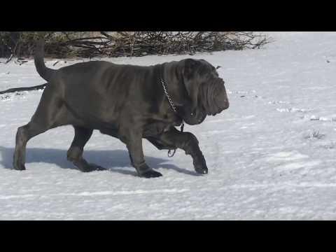 Neapolitan Mastiffs First Time in Cali Snow