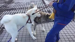 秋田犬は他犬と仲良くなれるコもいますが、大型犬ゆえにちょっとした小...