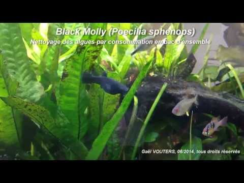 Poecilia sphenops Molly  élevage  aquaportailcom