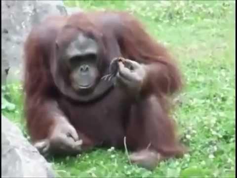 Orangutan Saves Baby Chick From Drowning! Орангутанг спасает птенца!