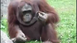 Orangutan Saves Baby Chick from Drowning! Орангутанг спасает птенца!