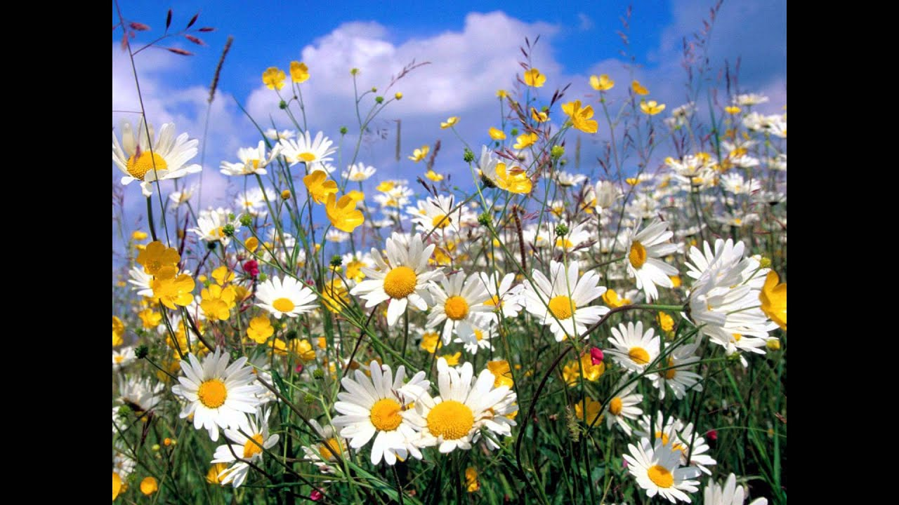 Rebecca Tripp - Buttercups and Daisies - YouTube Field Of Daisies
